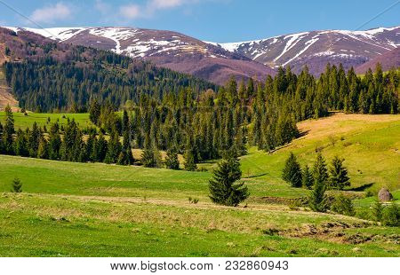 Spruce Forest On Grassy Hills In Springtime. Gorgeous Landscape Of Carpathian Mountains With Snowy T