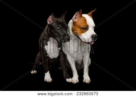 Two American Staffordshire Terrier Dogs Sitting Together And Looking At Down Side On Isolated Black