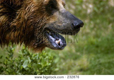 Tier Bär Gesicht