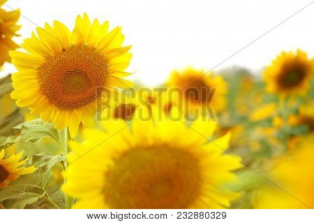 Sunflowers Texture And Background.sunflowers Field Background.focus Closeup Of Sunflower In Bloom Wi