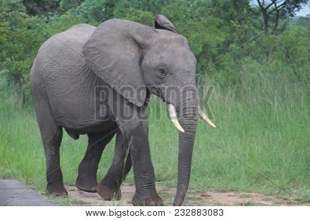 A Family Of Elephants In Kruger National Park . Musht Elephant, Elephant Baby Playing In Mud In Krug