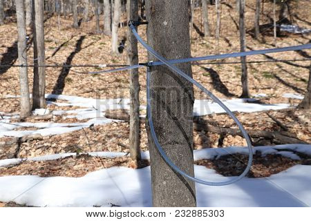 A Tapped Sugar Maple Collecting Sap To Be Made Into Maple Syrup
