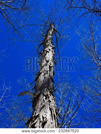 Shagbark Hickory Tree Silhouetted Against A Blue Sky.