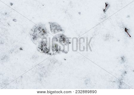Footprint Of A Dog In The Snow. Wintertime, Big Footprint.