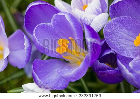 Close-up Of Beautiful Blooming Crocus Flowers On A Green Meadow In Spring. View From Above To Wonder