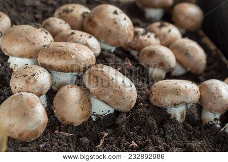 Cultivation Of Brown Champignons Mushrooms, Grow In Underground Nature Caves In France, Ready For Ha