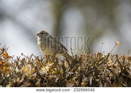 Close-up Of A Beautiful Little Sparrow Bird On Hedge In Spring. View To A Small Sparrow Bird In Morn