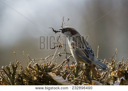 Close-up of a beautiful little Sparrow Bird on a Hedge in Spring. View to a small Sparrow Bird with Branches in the Mouth. Birds and Animal Backgrounds.