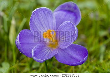 Close-up Of A Beautiful Blooming Crocus Flower On A Green Meadow. View From Above To A Amazing Lilac
