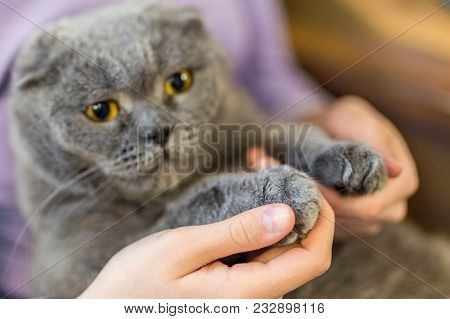 Close-up Fluffy Cat's Paw In Human Hands. Pets Care And Friendship. Prohibition Of Cats Declawing Su