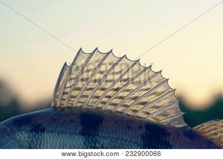 Dorsal fin of a walleye (zander), toned photo
