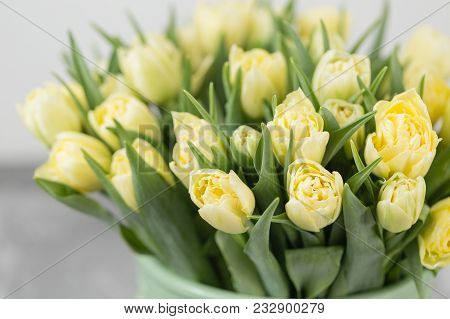Tulips Of Pastel Yellow Color. Big Buds Of Multicoloured Tulips. Floral Natural Backdrop. Bicolour T