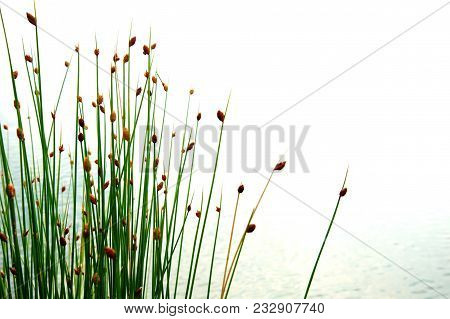 Flower Of Green Reed Or Grass With Water At Lake Or Wetland In Summer Or Spring Time Nature Backgrou