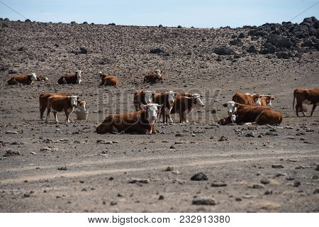Herd Of Cows In Empty Arid Desert Starving Without Food And Water.
