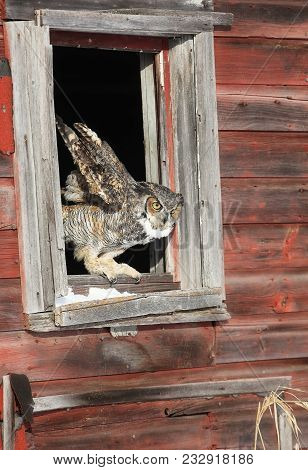 Close Up Image Of A Great Horned Owl Preparing To Fly From An Open Window In An Old Barn.  Winter In