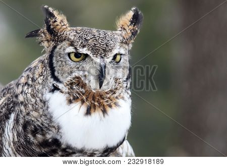 Close Up, Head And Shoulders Image Of A Great Horned Owl.
