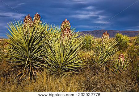 Blooming Yucca In Big Bend National Park, Texas.