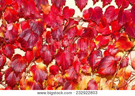 Red Leaves On A Climbing Vine Brightly Let By Sunset. Colorful Plant Leaves Growing Against Painted
