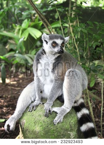 Ringtailed lemur (lemur catta) sits on a stone in the rainforest