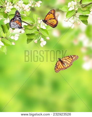 Flowers of apple and monarch butterflies (Danaus plexippus, Nymphalidae). On green background. Copy space for your text
