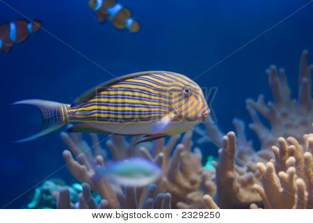 Lined surgeon floating above corals. In aquarium. poster