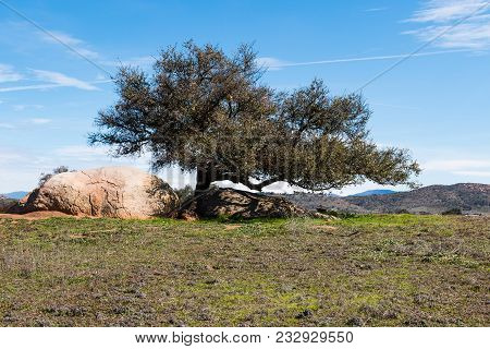 A Lone Tree With Boulders At Its Base At Ramona Grasslands Preserve In San Diego, California.