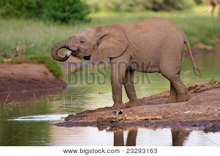 Drinking elephant calf