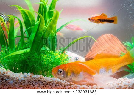 Little Fish In Fish Tank Or Aquarium, Gold Fish, Guppy And Red Fish, Fancy Carp With Green Plant, Un