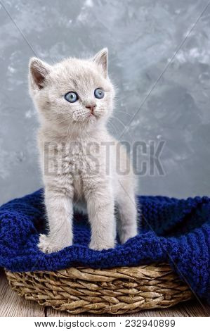 A Small Lilac Scottish Straight Kitten In A Basket. The Kitten Looks Carefully.