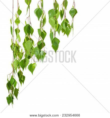 Background Of Several Branches Of The Birch With Young Leaves And Catkins Hanging Down And Located L