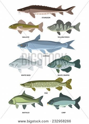 Vector Collection Of Different Kinds Of Freshwater Fish. Fresh Aquatic Fish, Sturgeon And Walleye, P