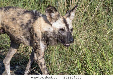 African Painted Wild Dog  At Hhuhluwe-imfolozi Wildlife Park