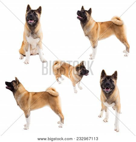 Pedigree Dogs Collage. Portrait Of American Akita On White Background