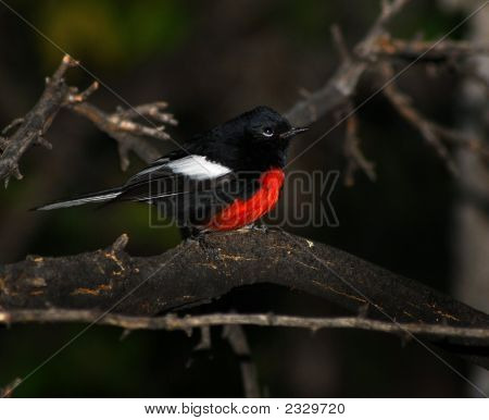 A colorful Painted Red start perched on a branch. poster