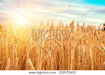 Gold Ears Of Wheat Against The Blue Sky And Clouds, Wheat Field Closeup, Agriculture Background