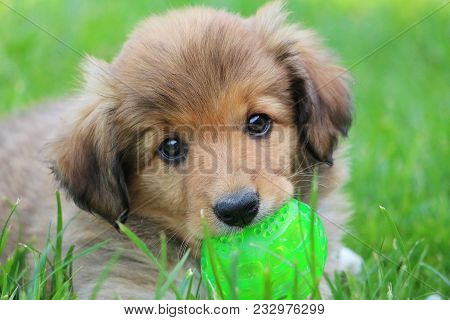 Brown Border Collie Puppy Is Lying In The Garden With A Green Ball In The Mouth