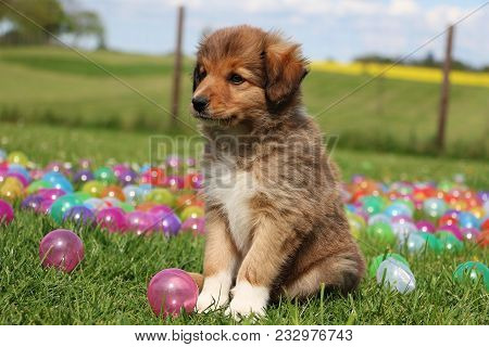 Brown Border Collie Puppy Is Sitting In The Garden With Colorful Balls