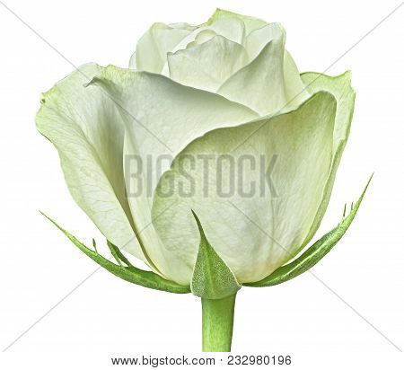 A White Rose Flower Isolated On A White  Background. Close-up. Flower Bud On A Green Stem With Leave