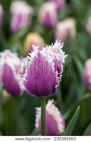 Fringed Tulips Blooming In A Garden. Fringed Tulips Got Their Name From The Distinct Frayed Edge On