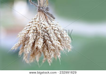 Wheat Ears Stalks Bouquet Macro View Photo. Green Background. Shallow Depth Of Field, Selective Focu