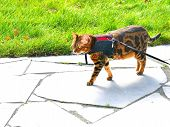 Bengal cat on a harness and leash on a stroll outside side view poster