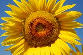front view of a sunflower with a bee poster
