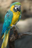 Blue and gold macaw sitting on a branch poster