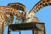 Many giraffe feeding on one tank of dry grass with isolated background. poster