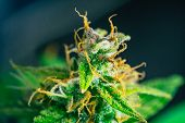 Macro buds of marijuana cbd thc. Concepts of legalizing medicinal herbs weed, bud cannabis, Macro shot with sugar trichomes, buds grown cannabis in the house, Bud cannabis before harvest poster