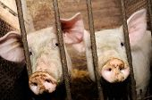 Two pigs behind bars in a barn poster