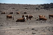herd of cows in empty arid desert starving without food and water. poster