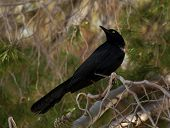 A great-tailed grackle looks over his shoulder while perched on a branch. poster
