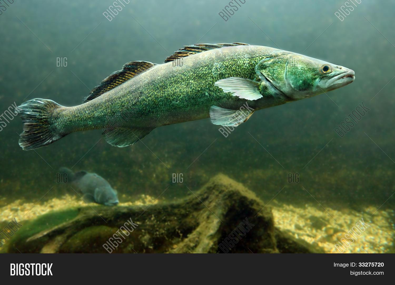 Underwater Photo Big Zander Pike- Image & Photo