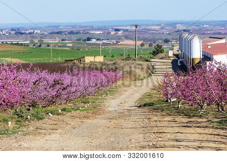 View Of A Farm Between Pink Peach Tree In Bloom. Pink And White Delicate Flowers.
